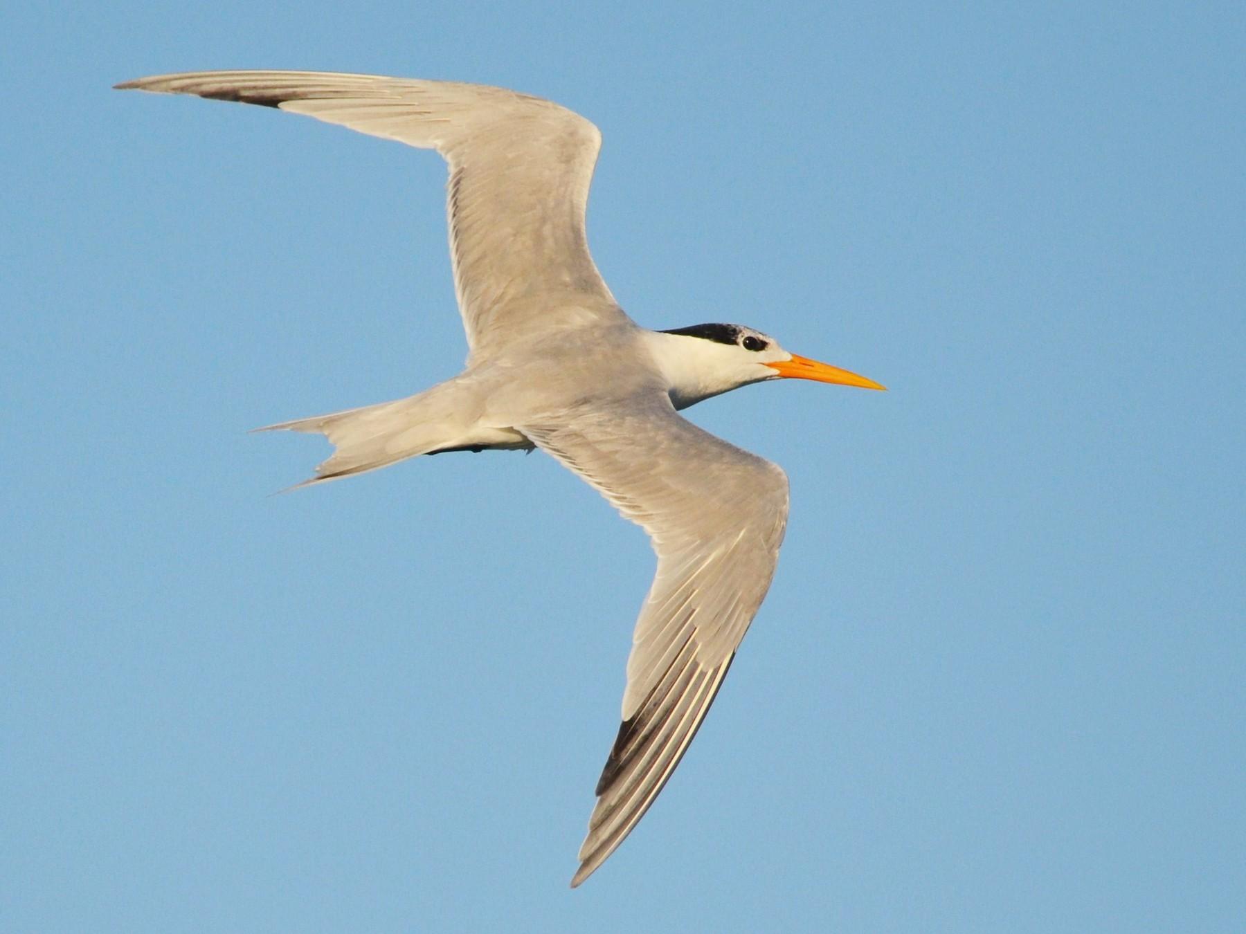 Lesser Crested Tern - Nuno  dos Santos