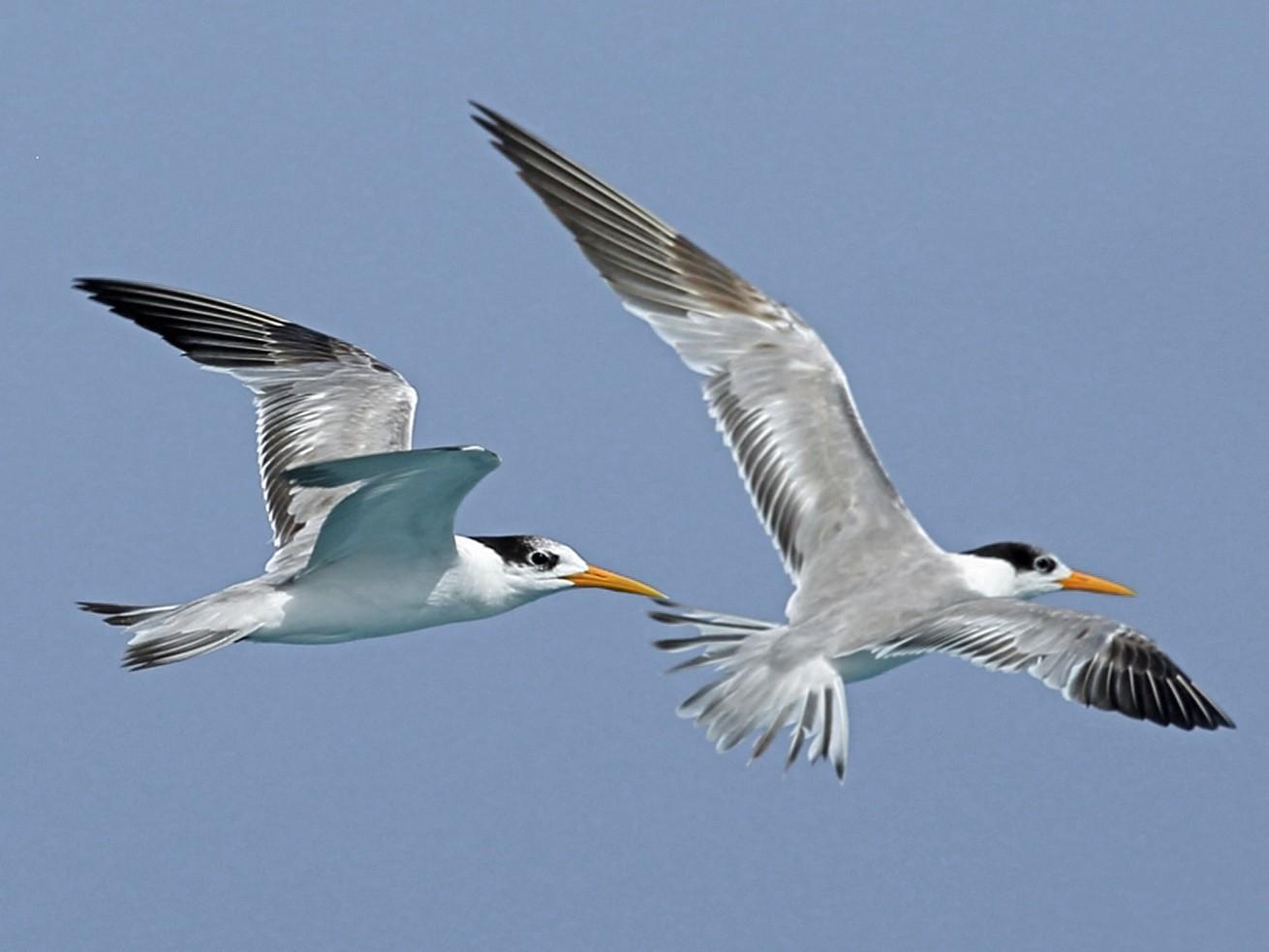 Lesser Crested Tern - Nigel Voaden