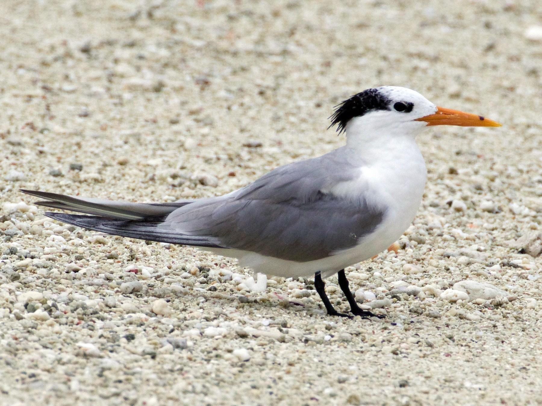 Lesser Crested Tern - Scott Baker