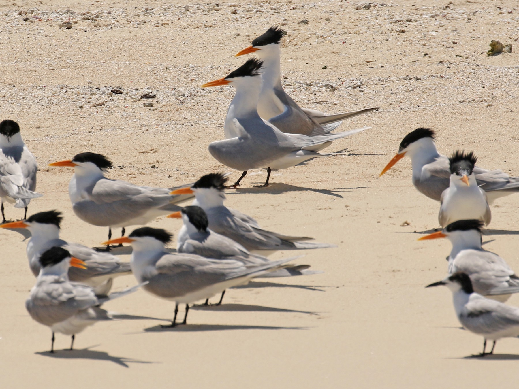 Lesser Crested Tern - Arco Huang