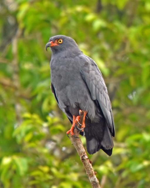 Slender-billed Kite