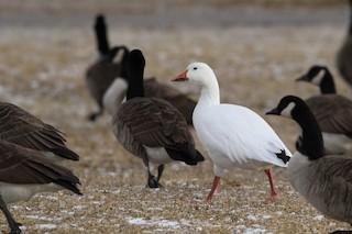 Snow Goose, ML86028881