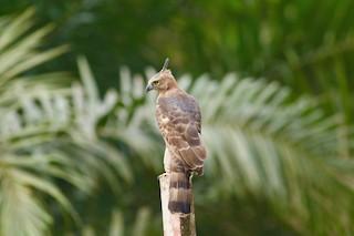 - Wallace's Hawk-Eagle