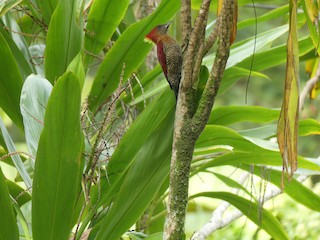 - Banded Woodpecker