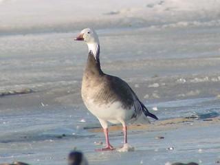 Snow Goose, ML86304831