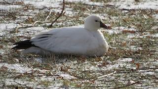 Ross's Goose, ML86347411