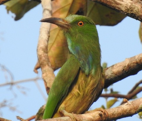Bee Eater: Name Telling Birds Series Article by V Kirubhanandhini. பெயர் சொல்லும் பறவை 17 – காட்டுப் பஞ்சுருட்டான் (Blue-bearded Bee-eater)