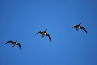 Barnacle Goose, ML86451421