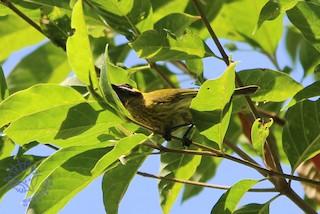 - Yellow-eared Honeyeater