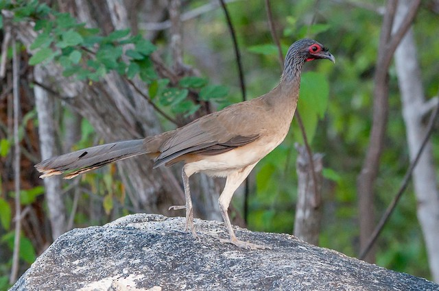 West Mexican Chachalaca