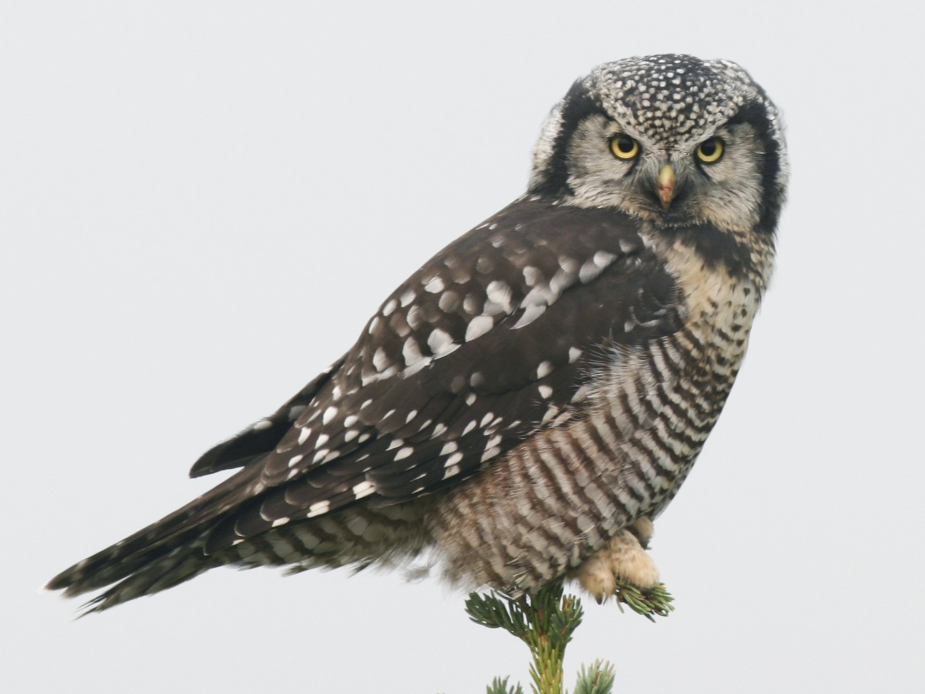 Northern Hawk Owl - Brian Sullivan