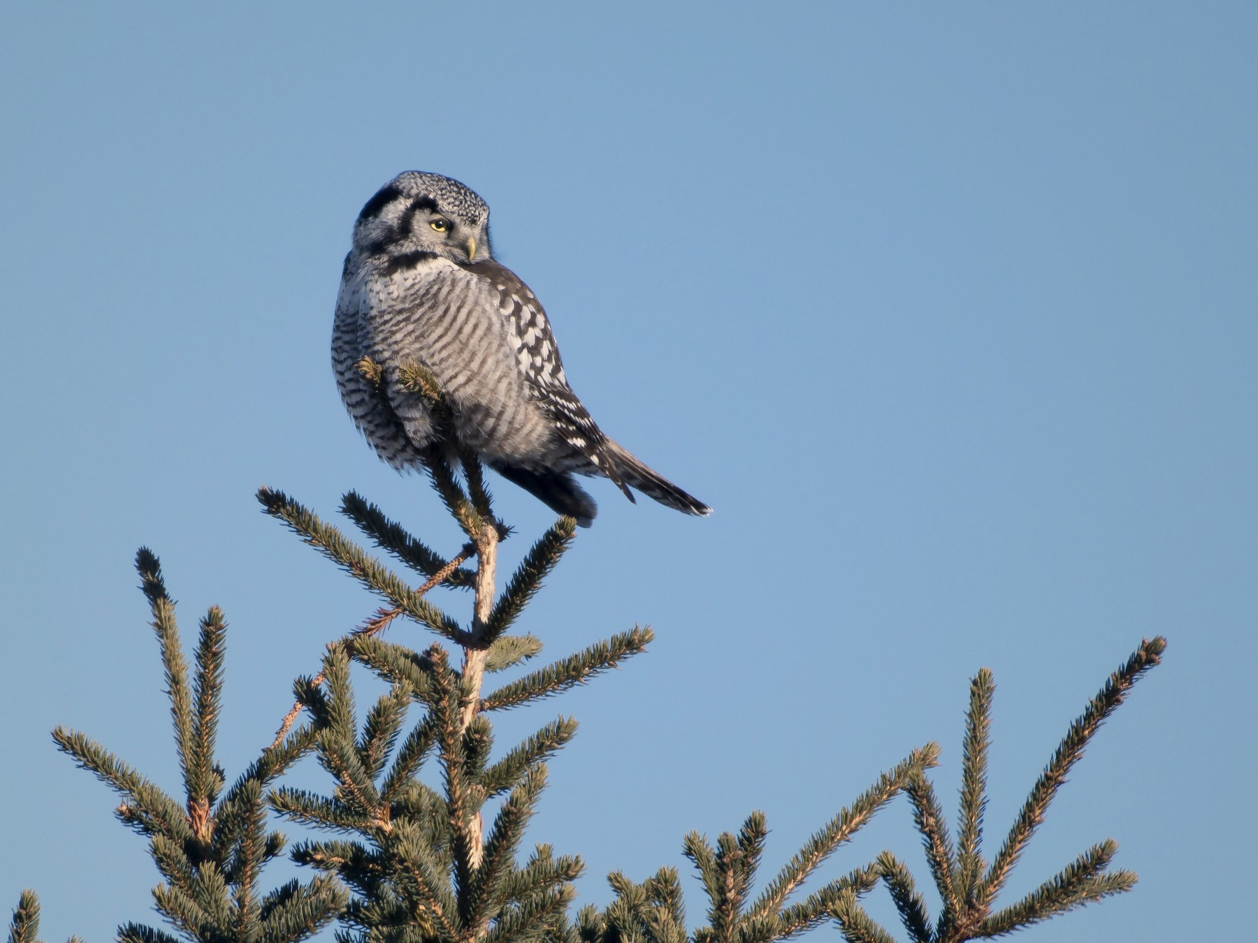 Northern Hawk Owl - Bryan Calk