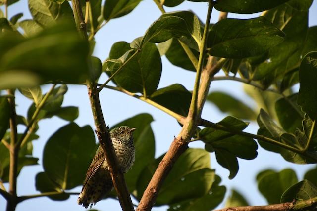 African Emerald Cuckoo (African)