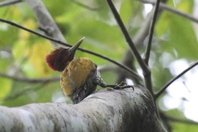 Red-headed Flameback