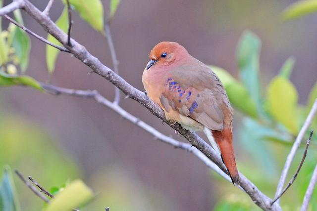 Blue-eyed Ground Dove