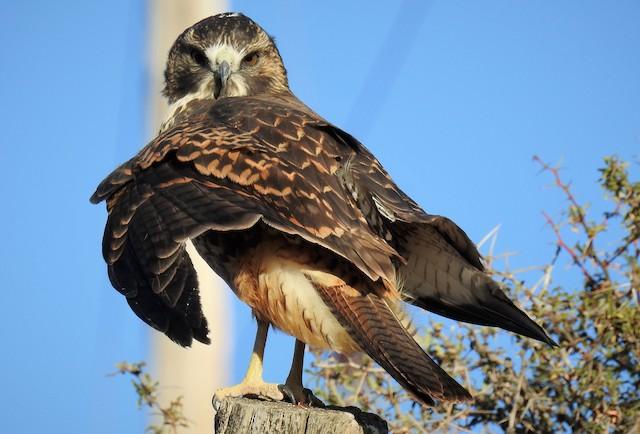 Variable Hawk
