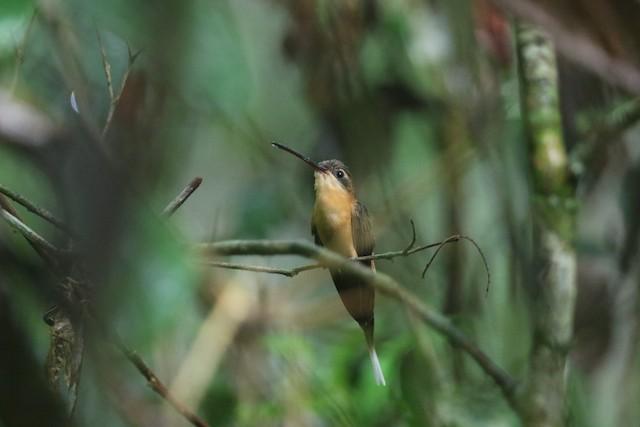Needle-billed Hermit