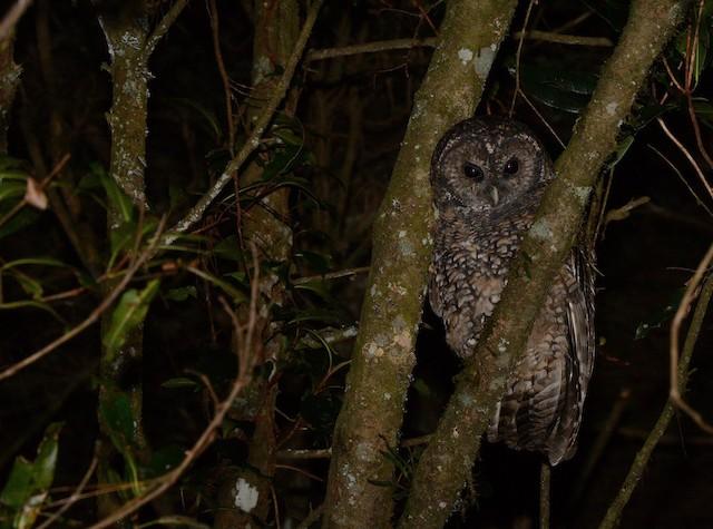 Himalayan Owl