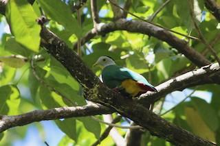 - Black-naped Fruit-Dove