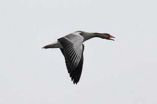 Graylag Goose (European), ML87039771