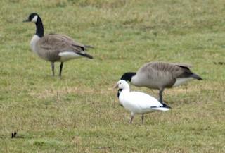 Ross's Goose, ML87076361