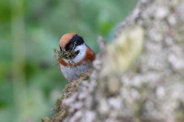 Gathering nesting material.