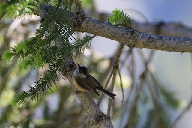 White-throated Tit
