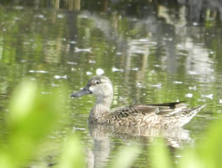 Blue-winged Teal, ML87241361