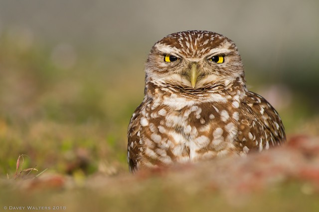 Burrowing Owl (Florida)