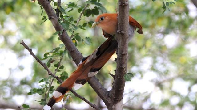 Squirrel Cuckoo (West Mexico)