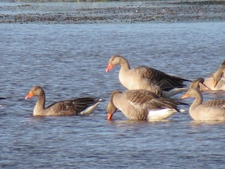 Graylag Goose, ML87387741
