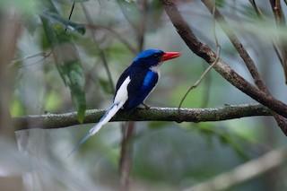 - Common Paradise-Kingfisher