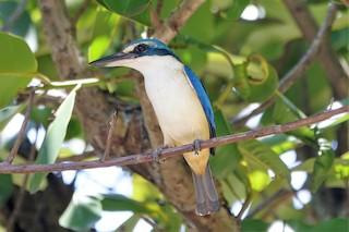 - Pacific Kingfisher