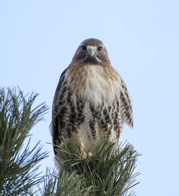 Red-tailed Hawk (abieticola)