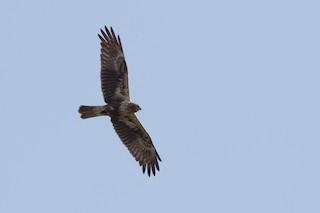 - Eastern Marsh-Harrier