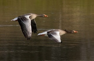 Graylag Goose (European), ML87408641