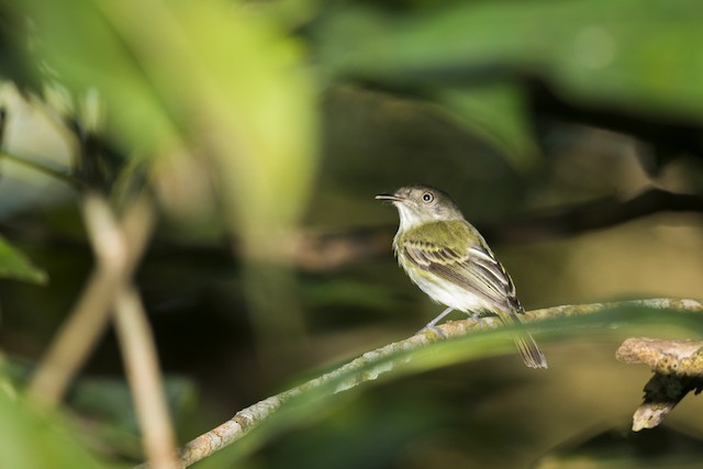 White-bellied Tody-Tyrant