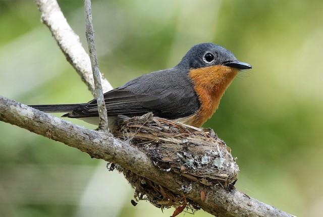 Melanesian Flycatcher