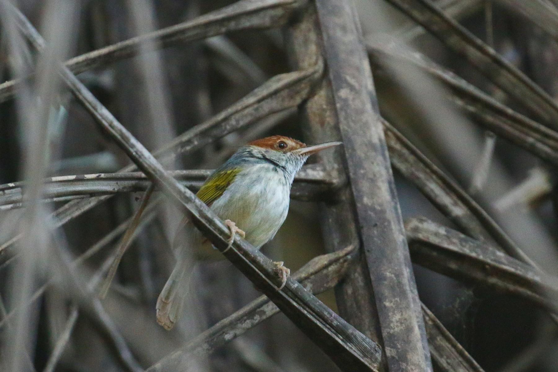 Gray-backed Tailorbird - Tommy Pedersen
