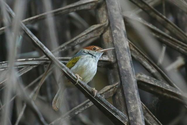 Gray-backed Tailorbird