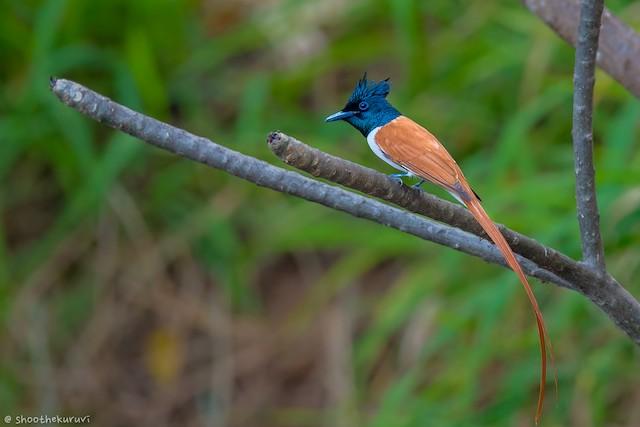 Indian Paradise-Flycatcher