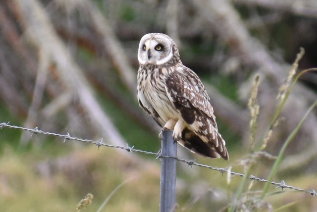 Short-eared Owl (Hawaiian)