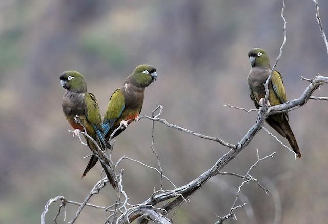 Burrowing Parakeet