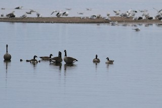 Cackling Goose, ML87640761