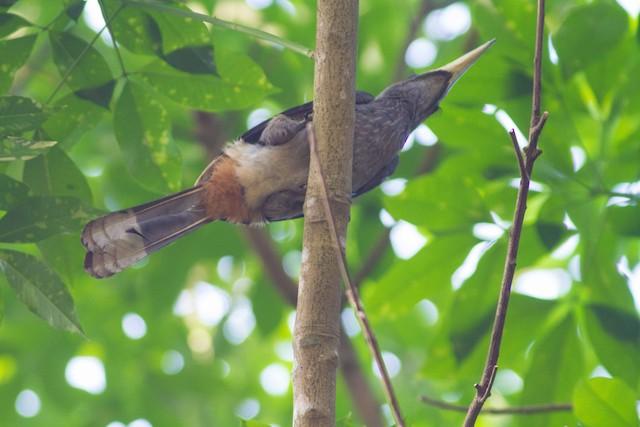 Malabar Gray Hornbill