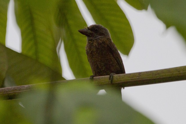 Gray-throated Barbet
