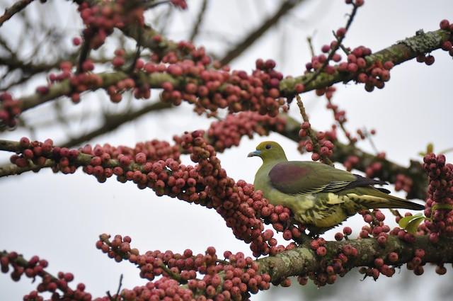 Whistling Green-Pigeon (Taiwan)