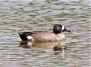 Blue-winged Teal, ML87712631