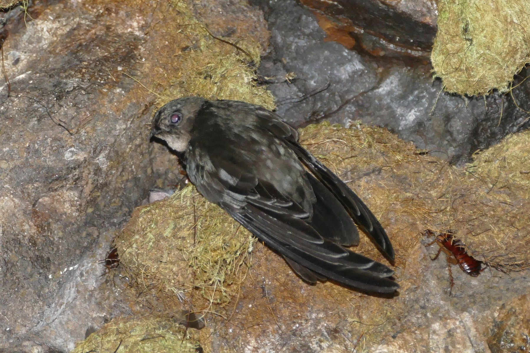 Caroline Islands Swiftlet - Peter Kaestner
