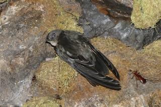 - Caroline Islands Swiftlet